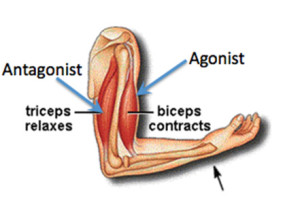 Agonist-Antagonist-Muscles_Nov-2014